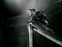 Free Dragonfly Royalty Free Stock Images - 13228599