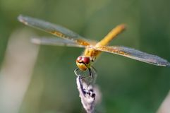Dragonfly. The dragonfly on blade, Russia stock photo