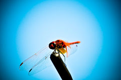 Dragonfly. In blue background, with opened wings Royalty Free Stock Photo