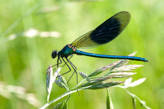 Dragonfly. A blue dragonfly on green grass Stock Photo