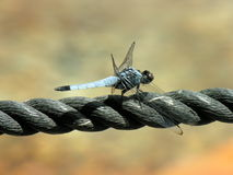 Dragonfly. Is taking sun over a rope Stock Images