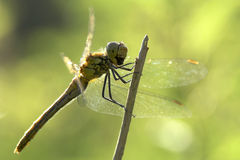 Dragonfly. Close-up shot of a dragonfly, green background Royalty Free Stock Photography