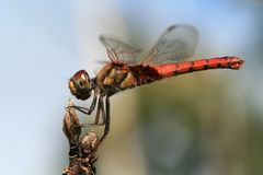 Dragonfly on plant stem Stock Images