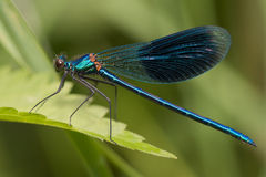 Dragonfly. Blue dragonfly in profile in leaf Stock Photos