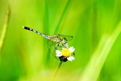 A dragonfly. On flower macro Stock Photography