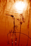 Dragonfly. Silhouette Dragonfly with reflected sunset Royalty Free Stock Image