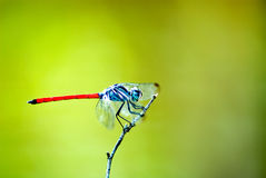 A dragonfly. On branch macro Stock Photo