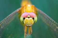 Dragonfly. Closeup of a yellow dragonfly Royalty Free Stock Image