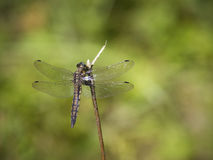 Dragonfly. Black-tailed skimmer. (Orthetrum cancellatum royalty free stock photos
