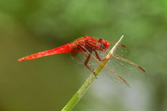 Dragonfly. Red dragonfly Stock Photo