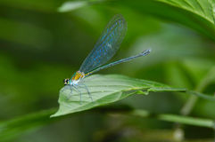 Dragonfly. Sitting on grass Stock Images