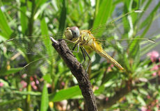 Dragonfly. Happy dragonfly on a bough Royalty Free Stock Images