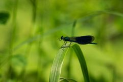 Dragonfly. Insects Royalty Free Stock Photo