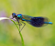 Dragonfly. Blue dragonfly sitting on a leaf Royalty Free Stock Photo