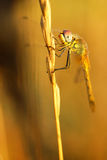Dragonfly. A dragonfly on a blade of grass Royalty Free Stock Images