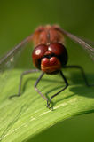 Dragonfly. Closeup, straight on portrait sitting on a green leaf stock photo