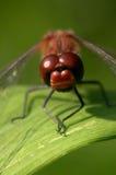 dragonfly Στοκ Εικόνες