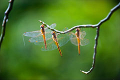 Dragonfly. Three dragonflies at rest in a line Royalty Free Stock Photography