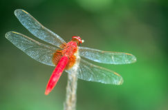 A dragonfly. A beautiful red dragonfly, docked on the grass Stock Images