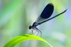 Dragonfly. On a meadow sits on a blade of grass Stock Photos