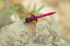 Free Dragonfly Stock Photography - 16361562