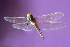 The dragonfly Royalty Free Stock Photography