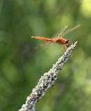 Dragonfly. Orange dragonfly perched on top of a plant shoot at Simmons Park, Florida Stock Photos