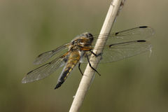 Dragonfly. Closeup of a dragonfly on a twig outdoors Stock Images