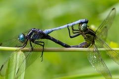Free Dragonfly Royalty Free Stock Photo - 17208545
