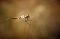 dragonfly Obrazy Royalty Free