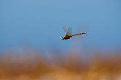 Dragonfly. A dragonfly hovers next to a lake in the middle of the day Stock Image