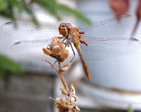 Dragonfly on flower bud Royalty Free Stock Image