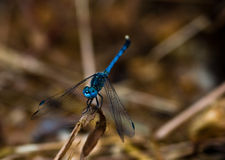 dragonfly Obraz Royalty Free