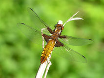 Dragonfly. The Moscow area Tulchinskoe lake stock photography