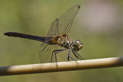Dragonfly. Closeup of a beautiful dragonfly resting on a wire at the time of summer heat Stock Image