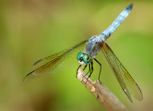 Dragonfly. Resting on stick stock photo
