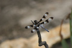 Dragonfly. Elusive dragonfly in Virginia Mountains stock images