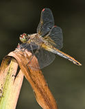 Dragonfly 2. Beautiful dragonfly close up sitting on a dried blade with a smooth background Royalty Free Stock Photo