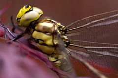 Dragonfly. Stock Image