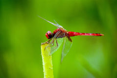 Free Dragonfly Stock Image - 20242711