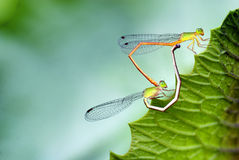 Dragonfly. Yellow dragonfly stop on the green leaves Stock Photo