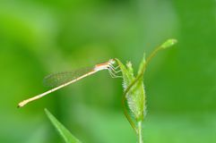Dragonfly. Pin of Thailand background Royalty Free Stock Photography