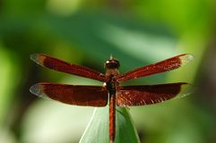 Dragonfly. A red dragonfly in the gardens royalty free stock image