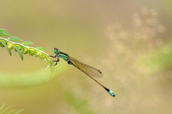 Dragonfly. A dragonfly is resting on leaves Royalty Free Stock Photography