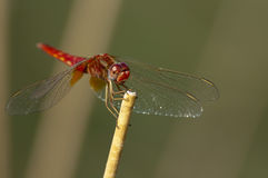Dragonfly. A picture of red dragonfly at samsun Stock Photo