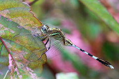 Dragonfly;. Yellow striped hunter, ''Austrogomphus guerini Royalty Free Stock Photo