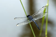 DragonFly. And Stem royalty free stock photos