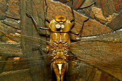 A dragonfly. A close-up of a dragonfly Stock Photography