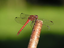 Dragonfly. A little sweet dragonfly on peastick royalty free stock image