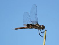 Dragonfly. Clings to leader of a palm frond Stock Photo